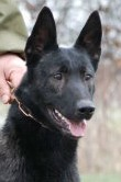 Annie • Dutch Shepherd Police K9 For Sale