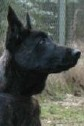 Aron • Dutch Shepherd Police K9 For Sale