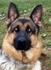 Boss • German Shepherd Police K9 For Sale