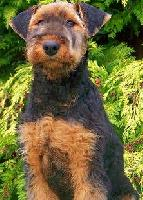 Dea • Level 1 Family Protection Dog • German Airedale Terrier • For Sale