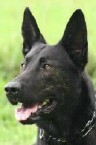 Hark • Dutch Shepherd Police K9 For Sale