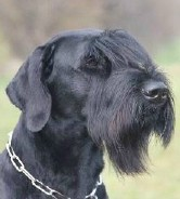 Sady • Level 3 Executive Protection Dog • German Giant Schnauzer • For Sale