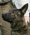 Thor • Dutch Shepherd Police K9 For Sale