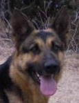 Yola • German Shepherd Police K9 For Sale