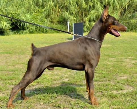 Carlo - Personal Protection Dog - Dobermann - Import - For Sale
