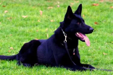 K9 Luna • Dual Purpose Police K9 •  German Shepherd • For Sale