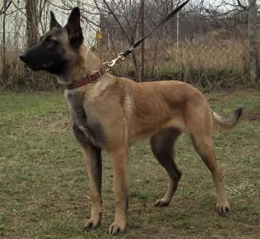K9 Valeri • Single Purpose Police K9 •  Belgian Malinois • For Sale