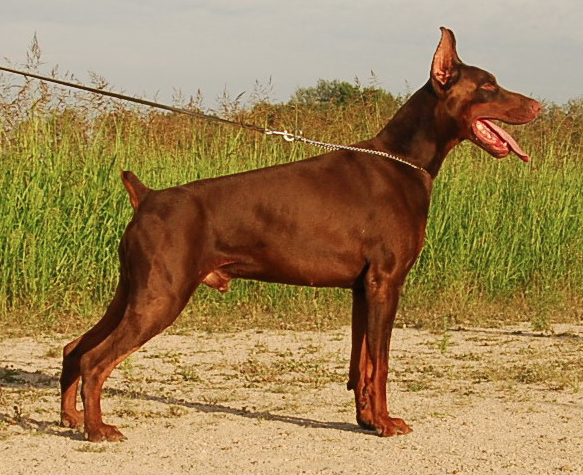 Zeno - Personal Protection Dog - Dobermann - Import - For Sale