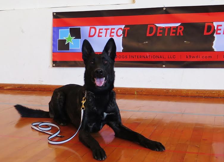 Security Dog & Family Protection Dog For Sale • Dutch Shepherd