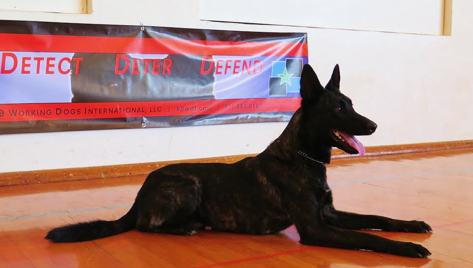 Dutch Shepherd Dog Description