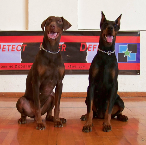 Gunther • Personal Protection Dog For Sale • Family Companion  German Dobermann • For Sale - Doberman - Executive Protection Dog