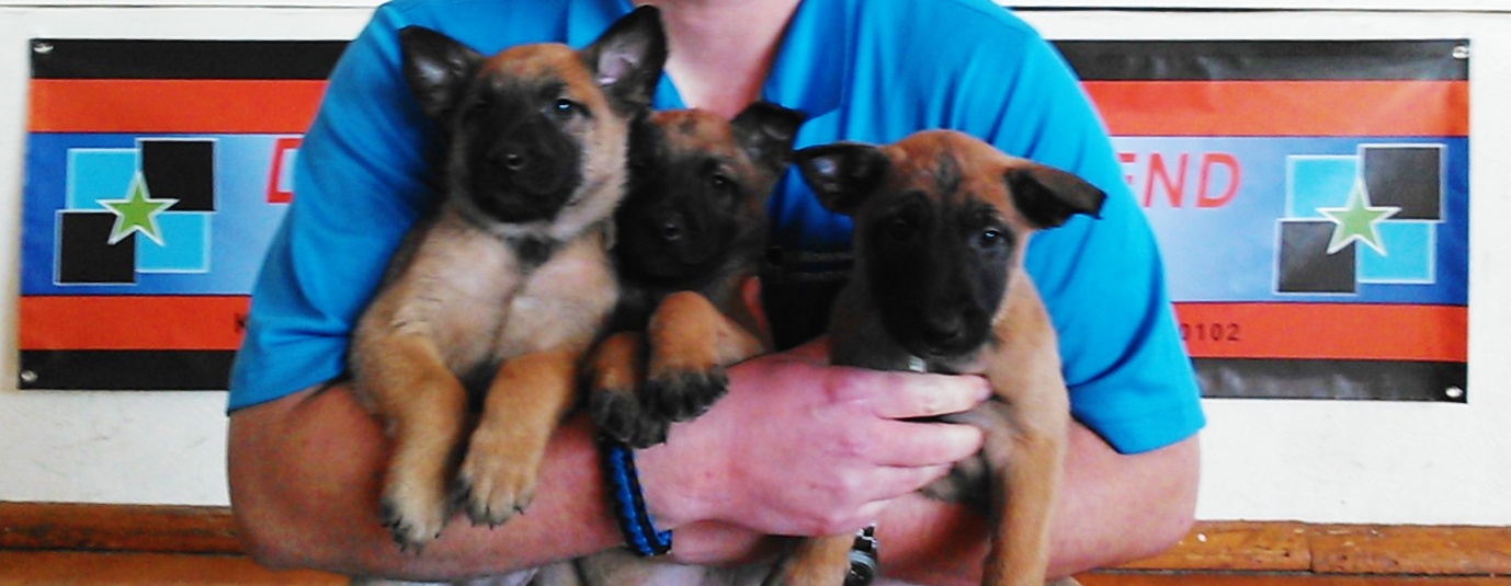 Belgian Malinois Puppies For Sale & Adoption