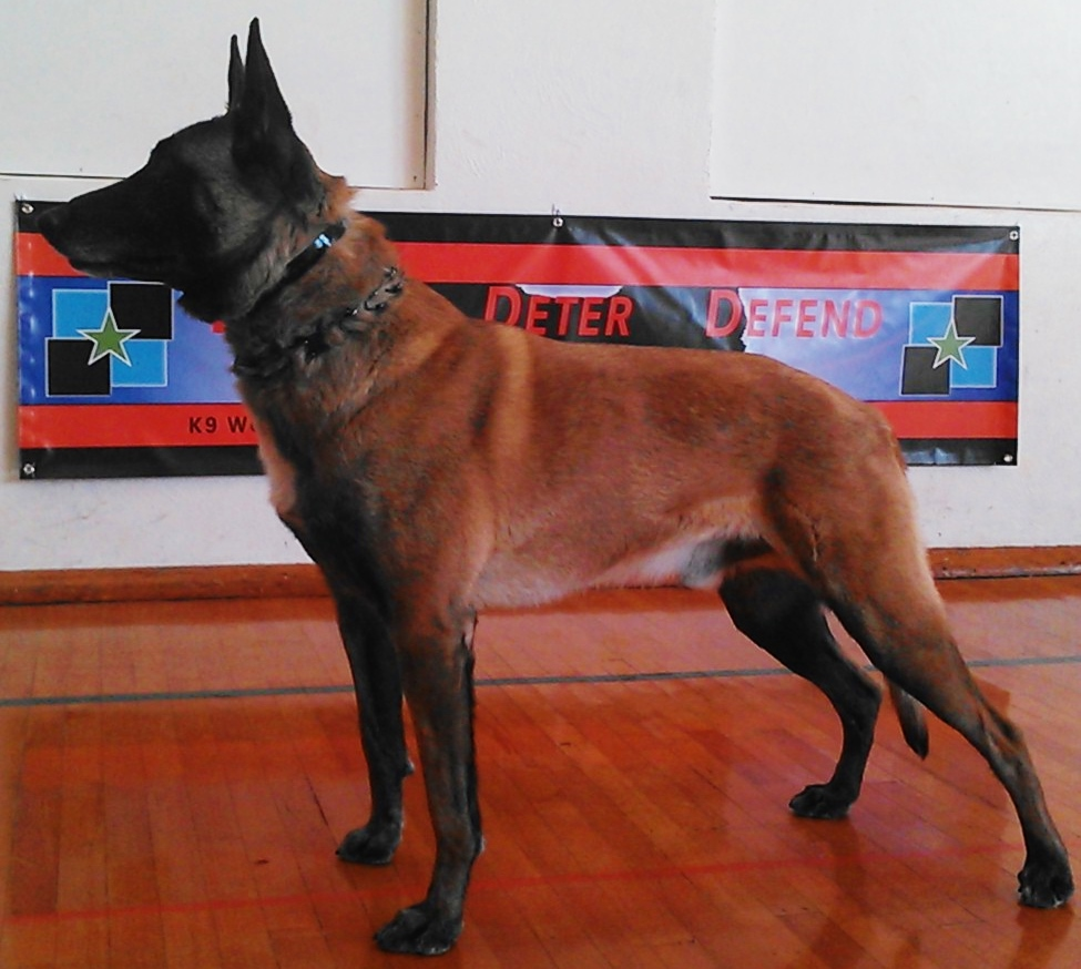 WORLD CLASS • Belgian Malinois Puppies For Sale • For Sale