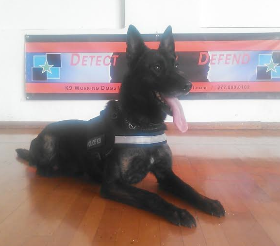 Dutch Shepherd K9 For Sale | Trained Dutch Shepherds For Sale | Dutch Shepherd Police Service Dogs For Sale | Dutch Shepherd Imports For Sale