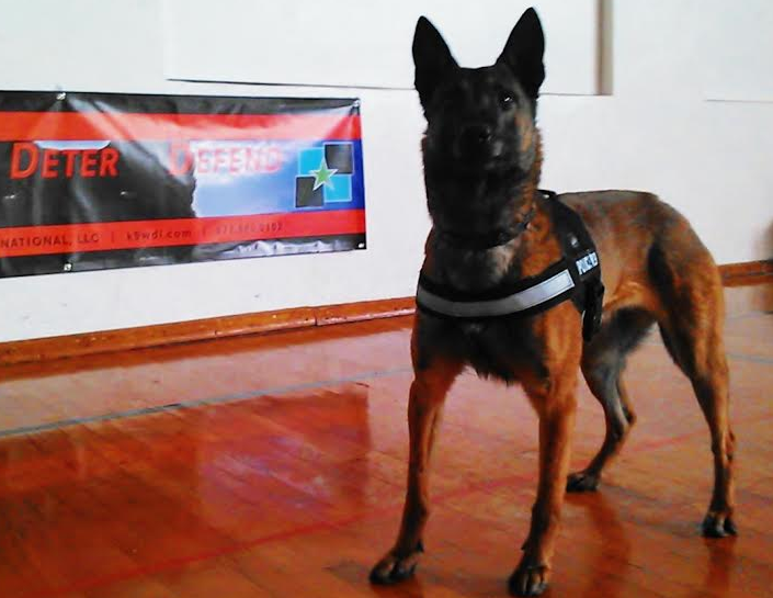 Dutch Shepherd Personal Protection For Sale Byron ...
