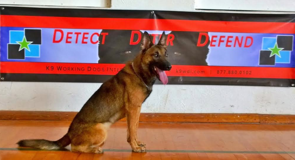 Matmo • Personal Protection Dog For Sale •  Belgian Malinois • For Sale