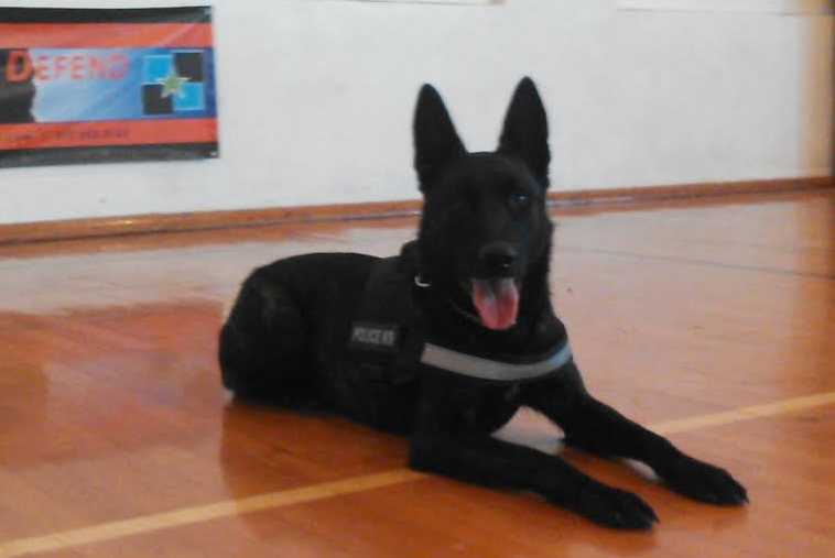 Reno • Estate Security Dog & Area Protection Dog For Sale •  Dutch Shepherd • For Sale