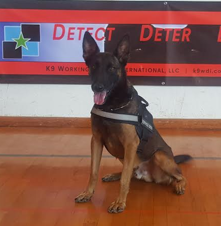 Dino Malinois Personal Protection Dog For Sale •  Belgian Malinois For Sale
