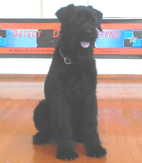 German Giant Schnauzer For Sale | Import Giant Schnauzer For Sale | Giant Schnauzer Puppies For Sale | Giant Schnauzer Protection Dogs For Sale