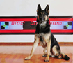 Ando • Personal Protection Dog For Sale • Family Companion  German Shepherd • For Sale