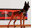 Summo • Police Dog For Sale • Family Companion - Belgian Malinois • For Sale