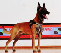 Turbo • Police Dog For Sale • Family Companion - Belgian Malinois • For Sale