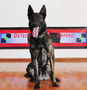 Piko • Protection Dog For Sale • Dutch Shepherd • For Sale