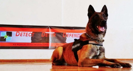 Max Malinois Personal Protection Dog For Sale •  Belgian Malinois For Sale