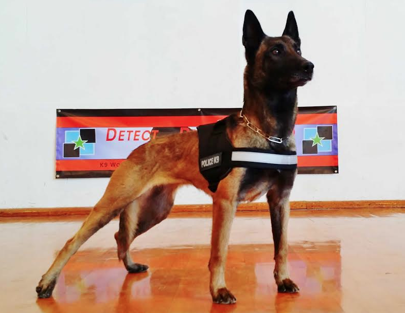 K9 Maly • Police K9 For Sale • Dual Purpose Police Dog For Sale - Belgian Malinois For Sale • For Sale