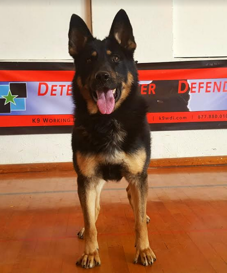 German Shepherd Police K9 For Sale - Certified Narcotics Detection Police Service Dog For Sale | Drug Dog For Sale | Narcotics Detection K9 For Sale