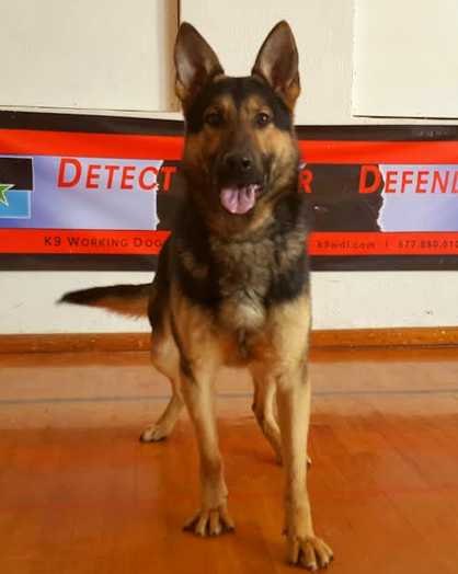 German Shepherd Police K9 For Sale - Certified Narcotics Detection Police Service Dog For Sale | Drug Dog For Sale | Narcotics Detection Dog For Sale