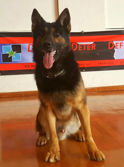 German Shephed Police K9 For Sale - Certified Narcotics Detection Police Service Dog For Sale | Drug Dog For Sale | Narcotics Detection Dog For Sale