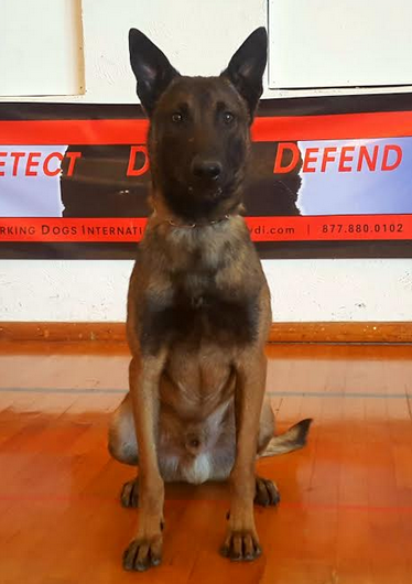 Malinois Police K9 For Sale - Certified Narcotics Detection Police Service Dog For Sale | Drug Dog For Sale | Narcotics Detection Dog For Sale