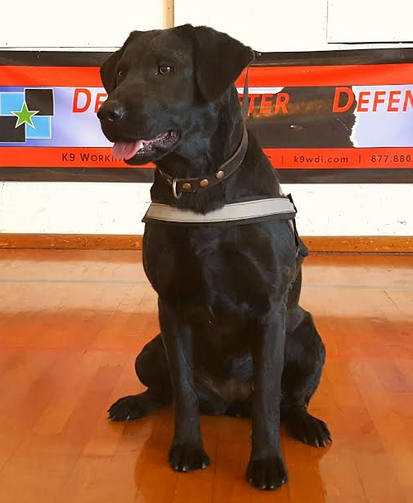 Labrador Police K9 Detection Dog For Sale - Lab Detection K9 For Sale