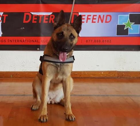 Belgian Malinois Police Single Purpose K 9 For Sale   Dog ...