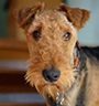 Shrek • Level 2 Personal Protection Dog • German Airedale Terrier • For Sale