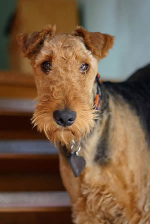 Airedale Terrier Description
