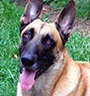 Belgian Malinois Protection Dog Description