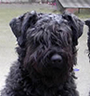 Bouvier des Flandres Protection Dog Description
