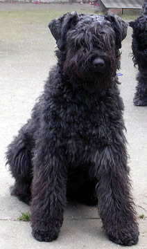 Bouvier Dog Price Goldenacresdogs