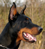 German Dobermann Pinscher History