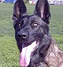 Dutch Shepherd Protection Dog Description