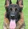 Protection Trained German Shepherd Dog History