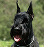 Giant Schnauzer Protection Dog Description