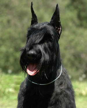 German Giant Schnauzer Description