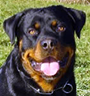 German Rottweiler Protection Dog Description